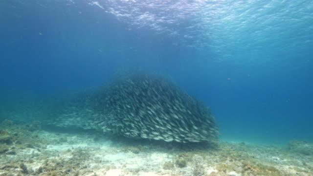 bait ball im korallenriff der karibik auf curacao am tauchplatz playa kalki - fischköder stock-videos und b-roll-filmmaterial