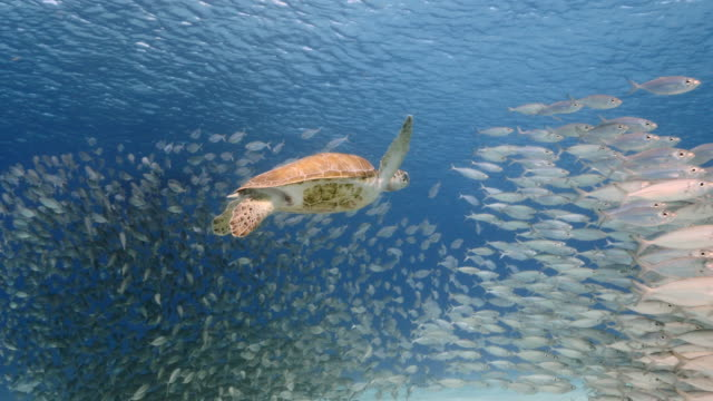 Bait ball / school of fish and Green Sea Turtle in turquoise water of coral reef in Caribbean Sea / Curacao video
