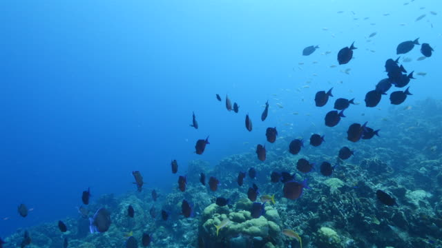 Bait ball / school of fish in coral reef of Caribbean Sea around Curacao video