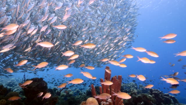 Bait ball / school of fish in turquoise water of coral reef in Caribbean Sea / Curacao video
