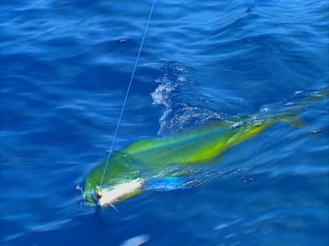 Baja fishing Dorado 03 video