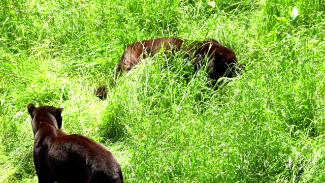 Balck panthers playing in the grass video