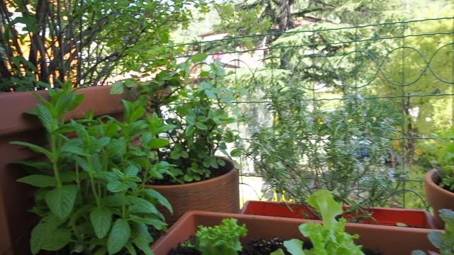 balkong trädgårdsarbete färska och ekologiska grönsaker trädgårdsodling i stadshus - basilika ört bildbanksvideor och videomaterial från bakom kulisserna