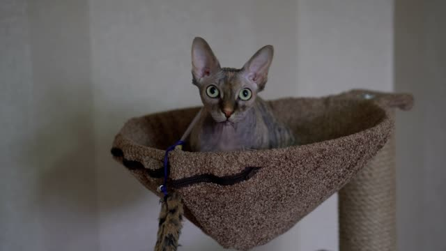 bald cat Sphynx don Sphynx sits on the daybed