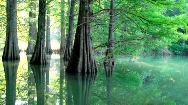 Bald cypress with green leaves in morning sunlight. Zoom out shot video