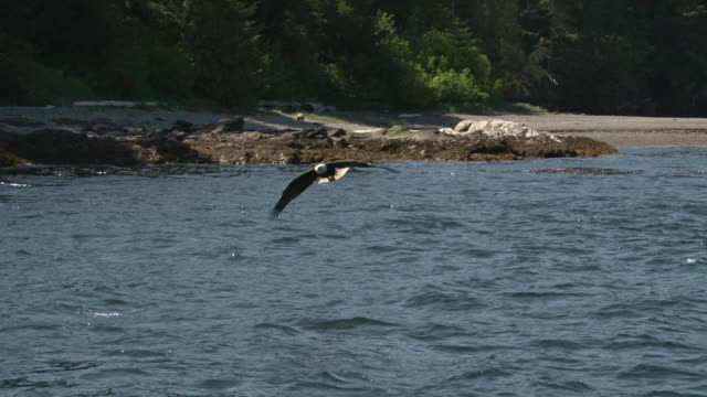 stockvideo's en b-roll-footage met bald eagle diving for fish - arend