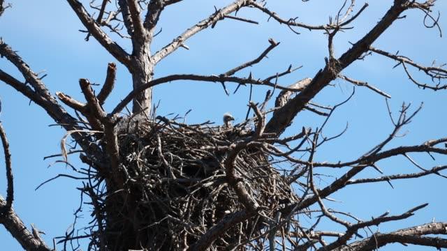 weißkopf-seeadler eaglet in einem nest - nest stock-videos und b-roll-filmmaterial