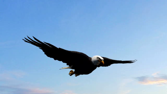 bald eagle flight in the sky - close-up - aquila video stock e b–roll