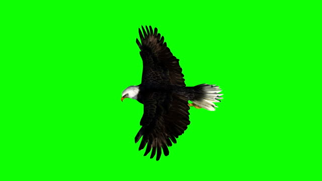 Bald Eagle gliding flight close-up - green screen Bald Eagle gliding flight close-up - green screen eagle bird stock videos & royalty-free footage