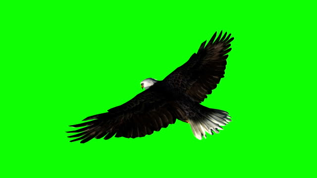 stockvideo's en b-roll-footage met bald eagle glijden vlucht close-up-groen scherm - vogel herfst