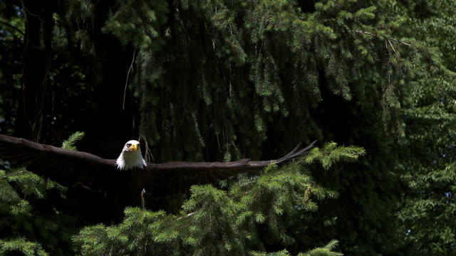 bald eagle, haliaeetus leucocephalus, adult in flight, taking off from branch, slow motion - aquila video stock e b–roll