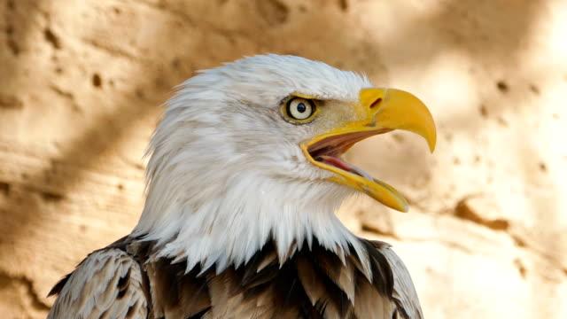 Bald Eagle head close-up, looking at camera and screaming.