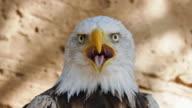 istock Bald Eagle head close-up, looking at camera and screaming. 1226770920