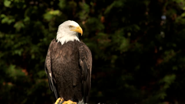 Bald eagle in the wind video