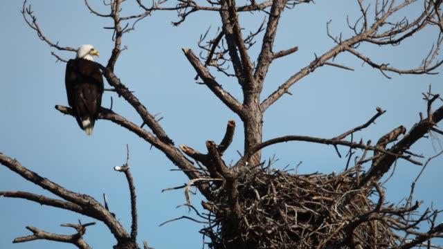weißkopf-seeadler auf ein nest - nest stock-videos und b-roll-filmmaterial