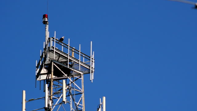 stockvideo's en b-roll-footage met bald eagle perched on radio tower - snavel