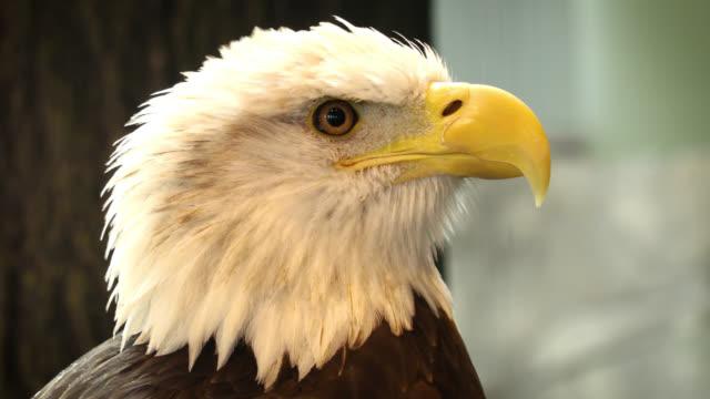 bald eagle - bedrohte tierart stock-videos und b-roll-filmmaterial