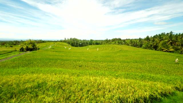 AERIAL Bali Rice Fields video
