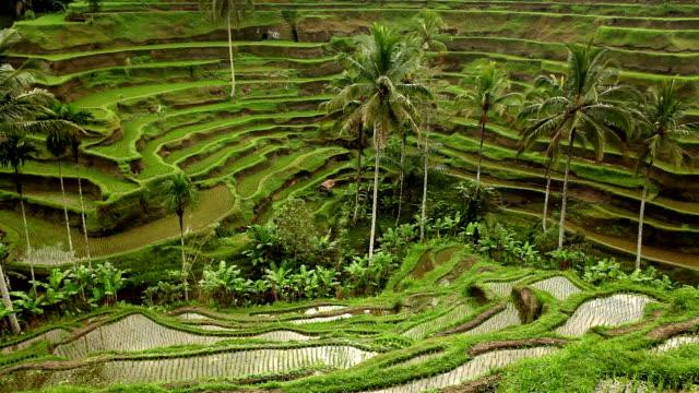 Bali Ubud Indonesia rice paddy video