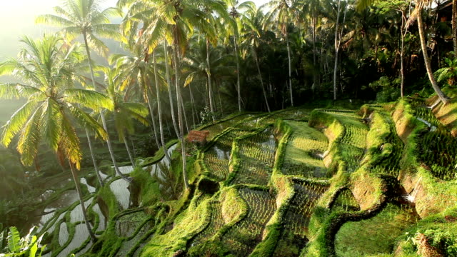 Bali Ubud Indonesien rice paddy – Video