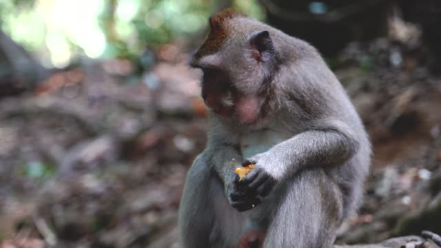 一隻巴厘島長尾猴吃遊客在巴厘島給她的水果 - 東南 個影片檔及 b 捲影像
