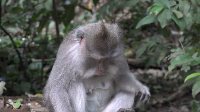 巴厘島長尾猴雌性 - 東南 個影片檔及 b 捲影像