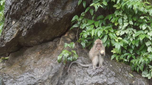 bali dili makak maymunu erkek ve kadın oynarken, yemek, atlama, tırmalamak - makak maymunu stok videoları ve detay görüntü çekimi