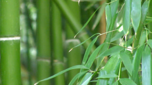 Bamboo background, HD video