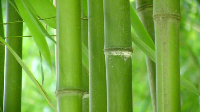 Bamboo background video