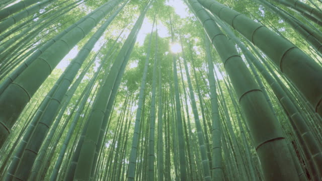 bamboo forest - 4K video