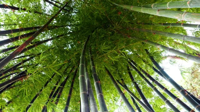 Bamboo forest are growing in natural environment with sunlight morning. Bamboo can be applied to a variety of applications and very useful, such as building a home It is the use of natural resources video