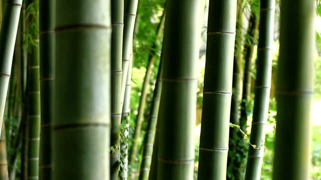 Bamboo forest at Takebayashi park close up back rack focus video