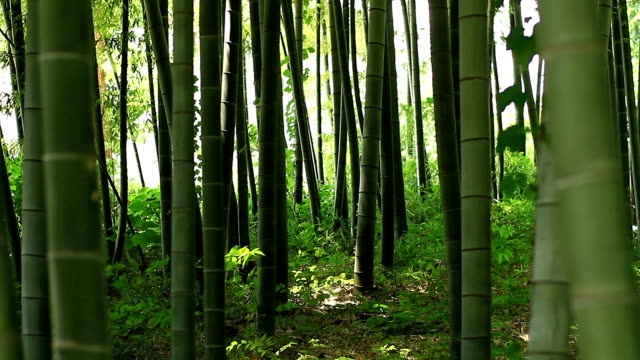 Bamboo forest at Takebayashi park middle shot deep focus midle wind video