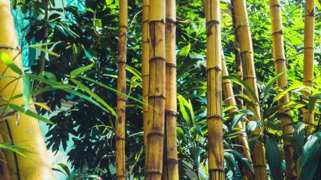Bamboo Forest background video