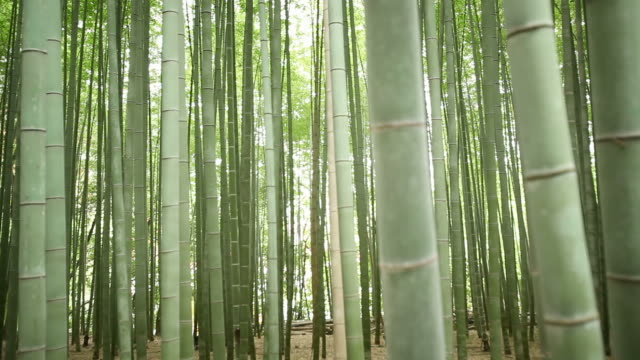 Bamboo Forest Focus Pull video