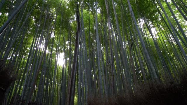 bamboo forest in Arashiyama video