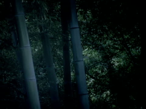 Bamboo forest in evening video