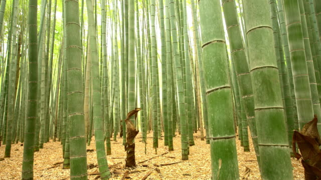 MS TU Bamboo forest in Japan video