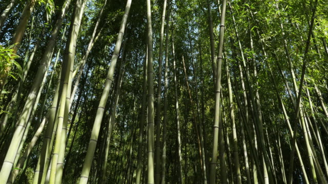 Bamboo forest in Montpellier, Occitanie, France