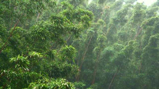 bamboo forest in rain - trees in mist stock videos & royalty-free footage