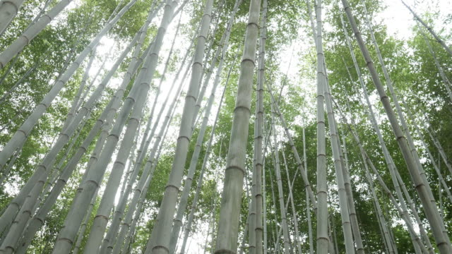 Bamboo forest Bamboo forest, natural green background yin yang symbol stock videos & royalty-free footage