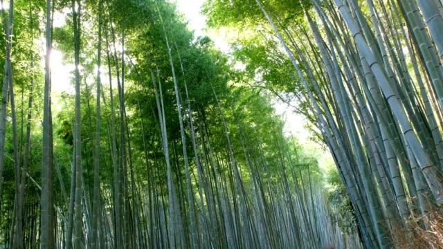 Bamboo grove forest swaying with sunlight shine video