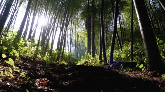 bambus-hain. hohe stiele von grünem bambus wachsen in exotischen wald - baumgruppe stock-videos und b-roll-filmmaterial