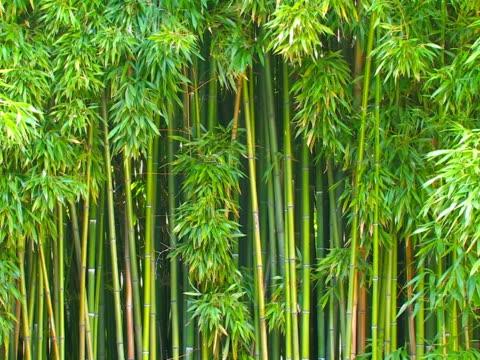 bamboo grove. ntsc. - 枝 植物部分 個影片檔及 b 捲影像