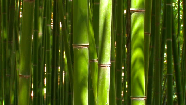 Bamboo grove. video