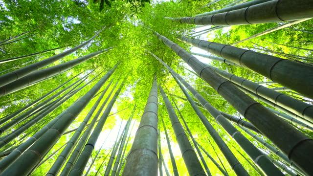 vídeos de stock, filmes e b-roll de crescimento do bambu, veja de baixo - alto descrição geral