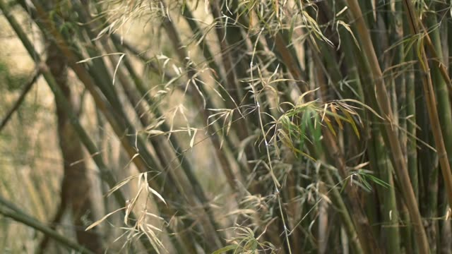 bamboo leaf weaving in a bamboo jungle.mov video