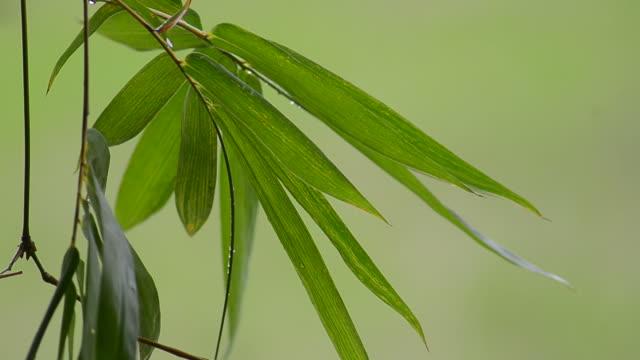 竹の葉に緑色の背景 - 笹点の映像素材/bロール