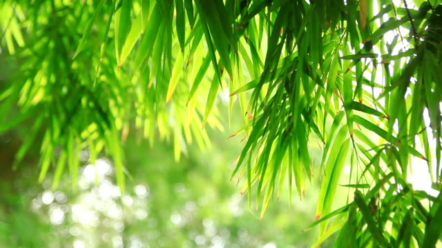 Bamboo leaves. video