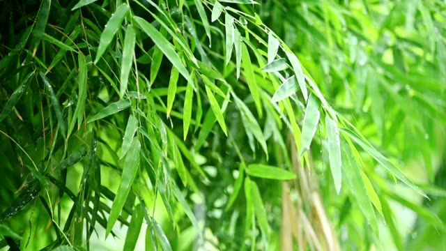 Bamboo leaves with raining